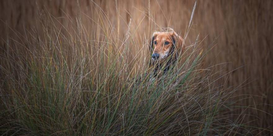 Ein Windhund im hohen Gras (Symbolbild: Jon Wicks)