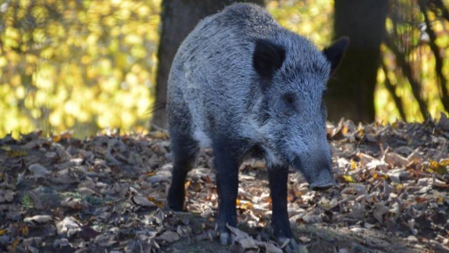 Ein Wildschwein im Wald (Symbolbild: Benoît Dupuis)