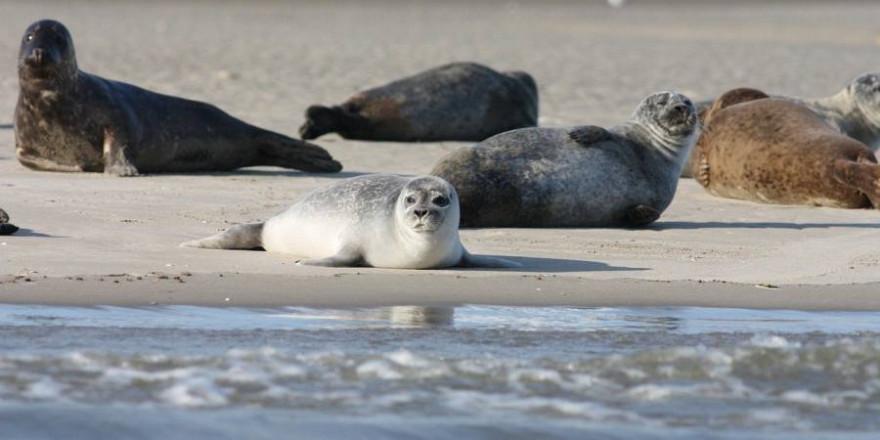 Seehunde am Strand (Symbolbild: Noutch)