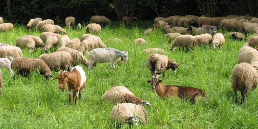 Die Weidetierprämie soll die Schaf- und Ziegenhaltung in Hessen sichern (Foto: Armeis)