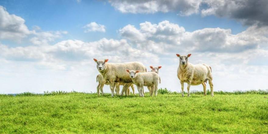 Schafe sind zur Beweidung und Befestigung von Deichen nur schwer zu ersetzen und müssen deshalb vor Wolfsangriffen besonders geschützt werden (Foto: Rudy and Peter Skitterians)