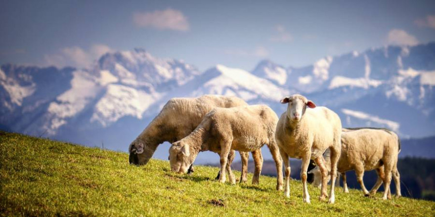 Weidetiere lassen sich auf Deichen oder auf Almen nur schwer durch Zäune vor Wölfen schützen (Beispielbild: Albrecht Fietz)