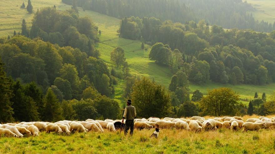 Wanderschäfer mit Schafen