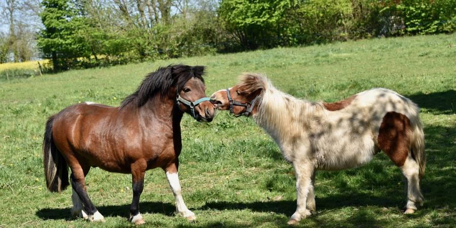 Zwei Shetland-Ponys (Symbolbild: JackieLou DL)