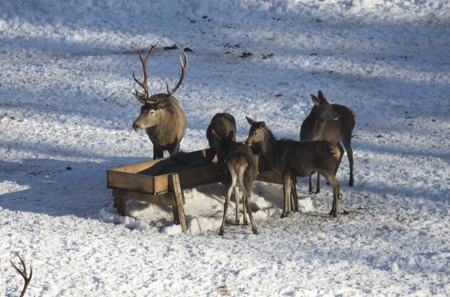 Rotwild an Winterfütterung