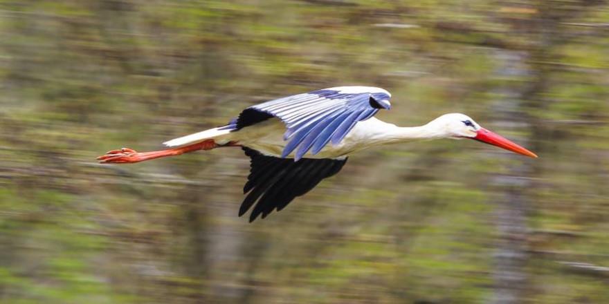 Fliegender Weißstorch (Beispielbild: Tommy_Rau)