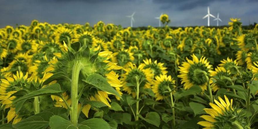 Ein Sonnenblumenfeld mit Windrädern (Symbolbild: Peggychoucair)