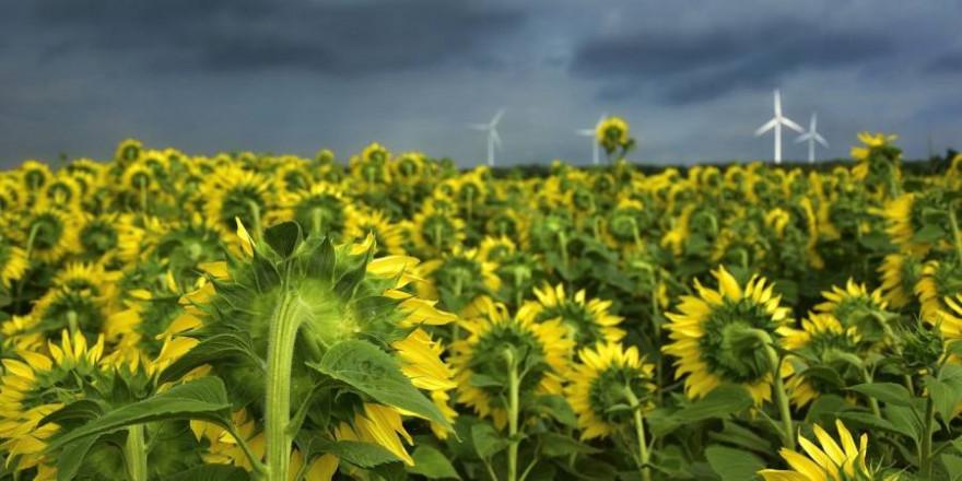 Die Stimmung bei der Sonnenblumenpartei trübt sich zunehmend (Symbolbild: Peggychoucair)
