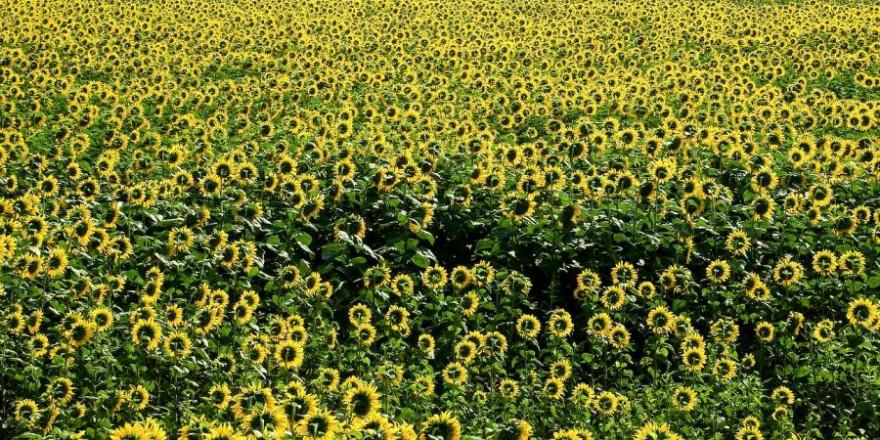 Sonnenblumenfeld (Symbolbild: Waldinfo.NRW)