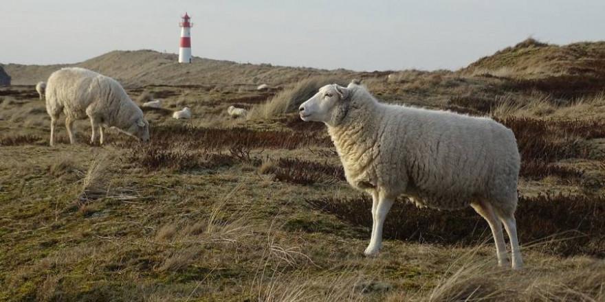 Schafe vor einem Leuchtturm auf Sylt (Symbolbild: Wheely248)