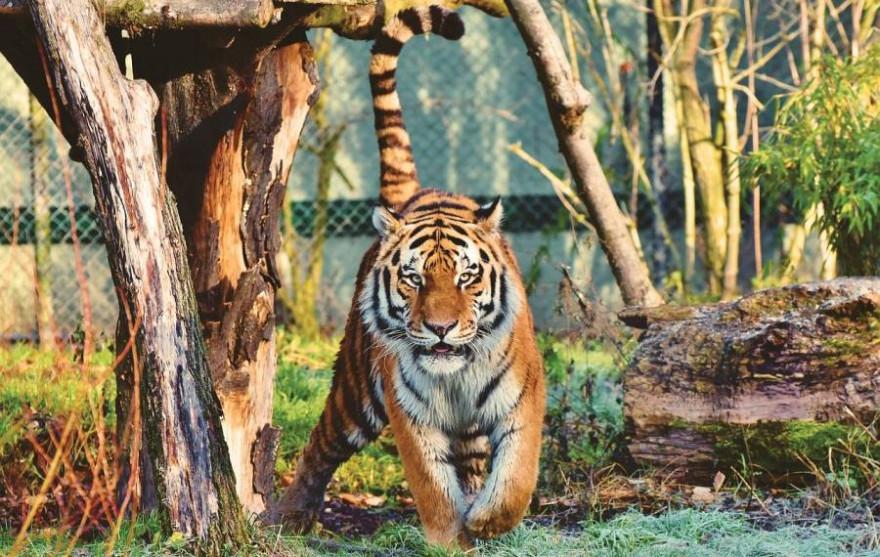 Ein Amurtiger (Sibirischer Tiger) in einem Gehege (Beispielbild: Capri23auto)