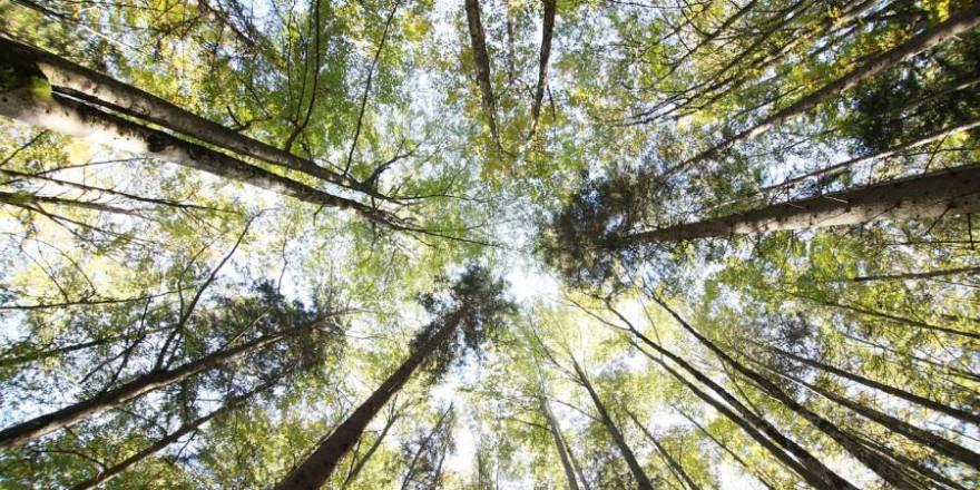 Blick in den Himmel vom Waldboden aus (Foto: Anja Jost)