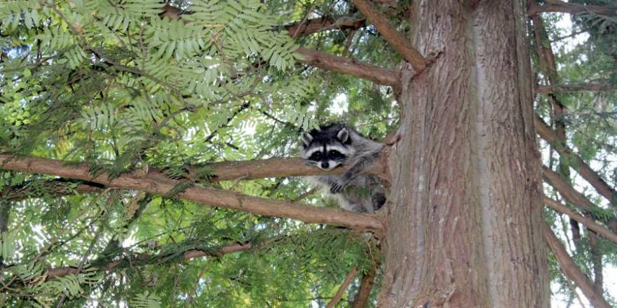 Waschbär in einem Baum (Foto: Simaah)