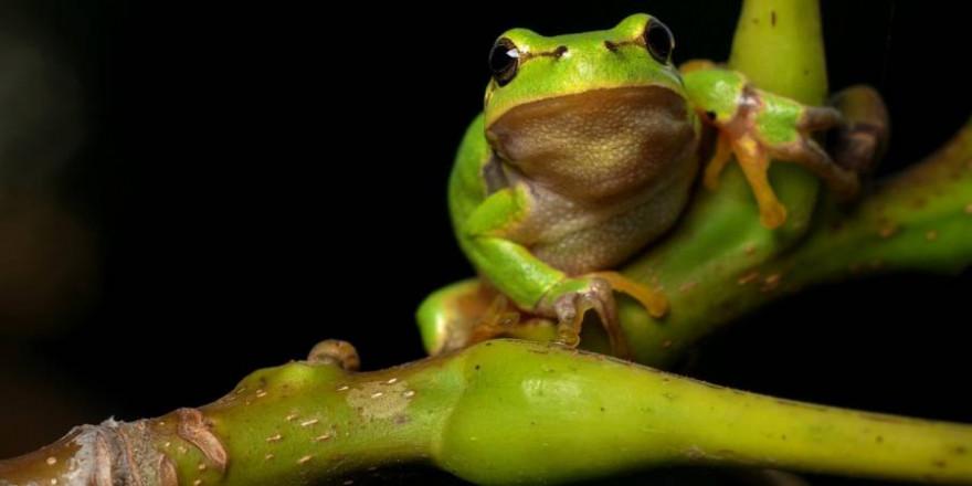 Gefährdet: der Laubfrosch. (Foto: Filip Kruchlik)