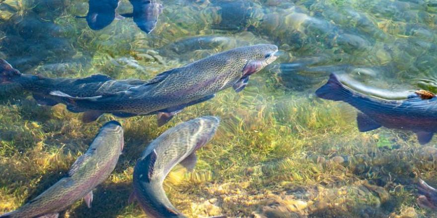 """Nach dem traditionellen Abfischen des Stadtbachs in Memmingen, wird die größte gefangene Forelle zur """"Königsforelle"""" gekürt. Hier zu sehen: Regenbogenforellen. (Symbolbild: Katharina N.)"""