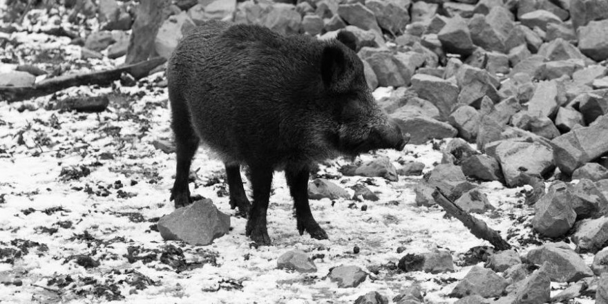 Wildschwein an einer Küste (Foto: dife88)