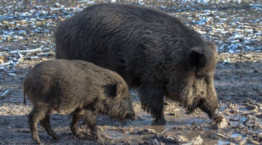 Immer häufiger beunruhigen Wildschweine die Bürger von Stahnsdorf (Beispielbild: andreas N)