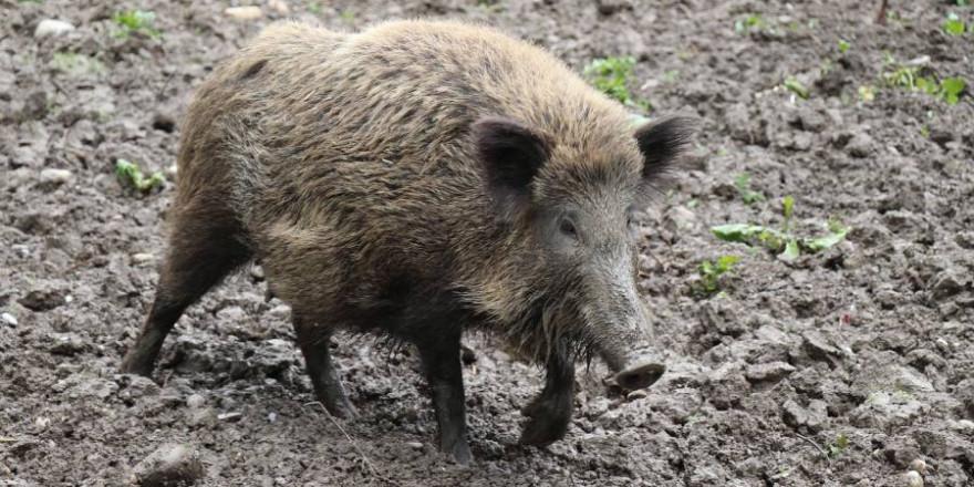 Ein Wildschwein (Symbolbild: Josefka)