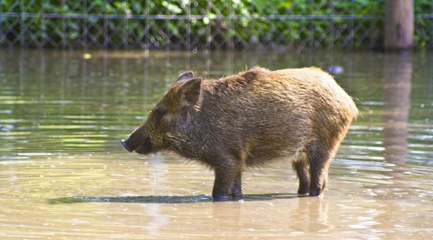 Wildschwein vor Zaun