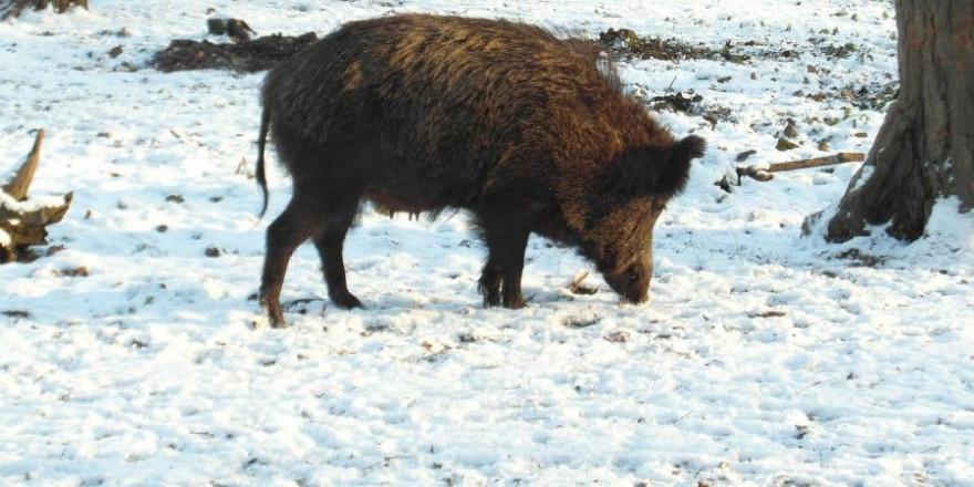 Eine Wildschweinbache im Schnee (Foto: Gaby Stein)