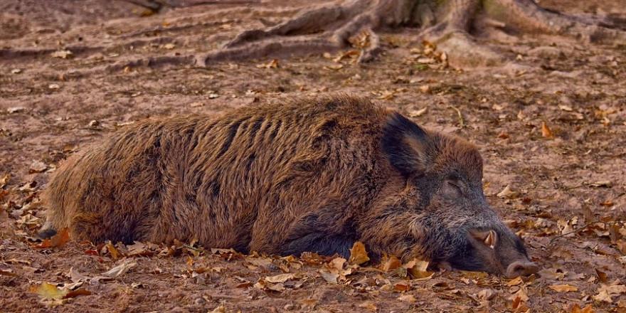 Bricht die ASP aus soll eine vermehrte Fallwildsuche die Infektionsmöglichkeiten gesunder Wildschweine minimieren.