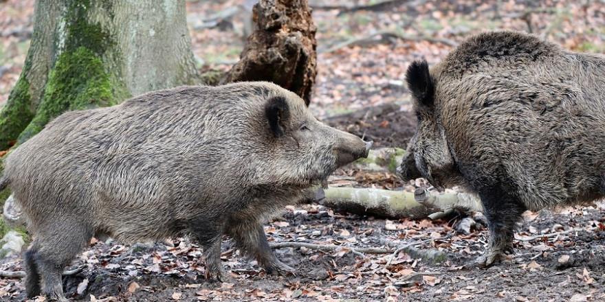 Wildschweinabwehrnetze sollen das Einwandern von Schwarzwild aus Polen nach Sachsen verhindern.