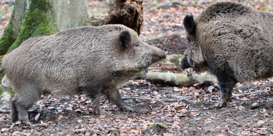 Zwei Wildschweine (Symbolbild: Annette Meyer)