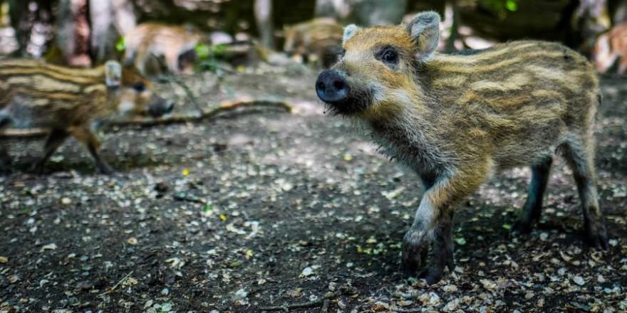 Die größte Gefahr sich mit Trichinellose anzustecken geht von Wildschweinen aus. (Beispielbild: Michal Renčo)