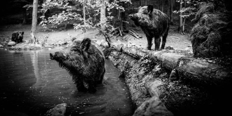 Drei Wildschweine an einer Suhle (Foto: Michal Renčo)