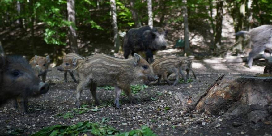 Eine Rotte Wildschweine (Beispielbild: Michal Renčo)