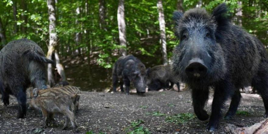 Mit einer Rotte Wildschweine sollte man sich besser nicht anlegen (Beispielbild: Michal Renčo)
