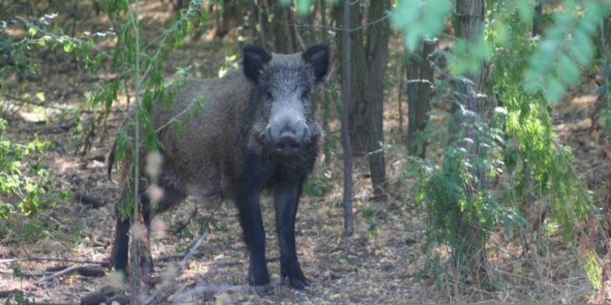 Ein Wildschweinkeiler (Symbolbild: Sorin Tincu)