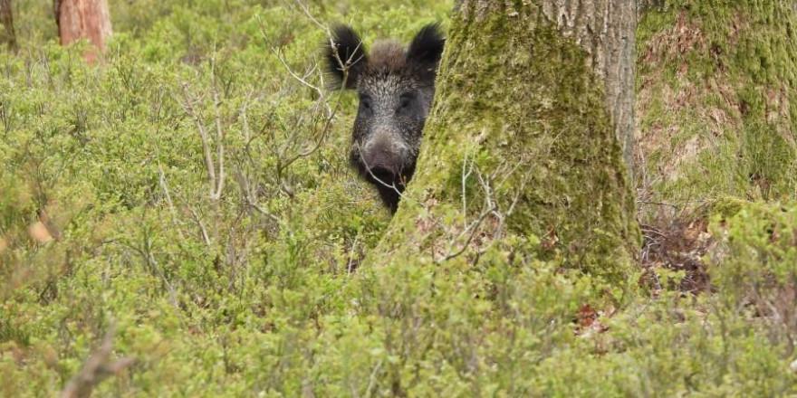 Ein Wildschwein hinter zwei Eichen (Symbolbild: Peter van Kasteren)