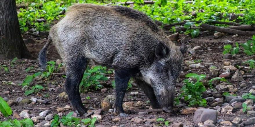 Ein Wildschwein (Symbolbild: Thomas G.)