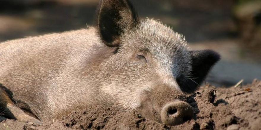 Ein liegendes Wildschwein (Symbolbild: katerinavulcova)