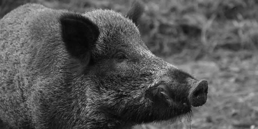Ein Wildschweinkeiler (Symbolbild: Ben Kerckx)