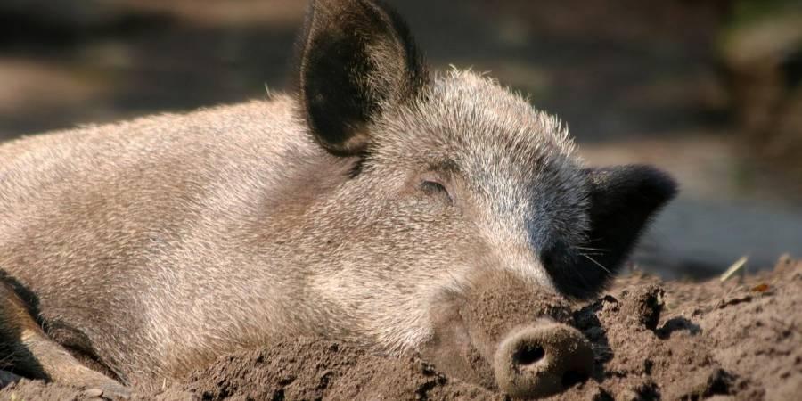 Liegendes Wildschwein (Symbolbild: katerinavulcova)