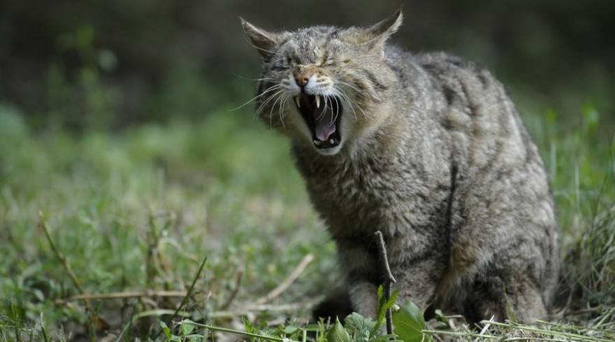 Das Parlament will die europäische Tier- und Pflanzenwelt besser schützen. Hier - eine gähnende Wildkatze (Symbolbild: Helmut Stirnweis)