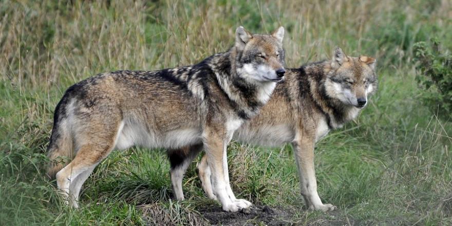 Zwei Wölfe im Grünland.
