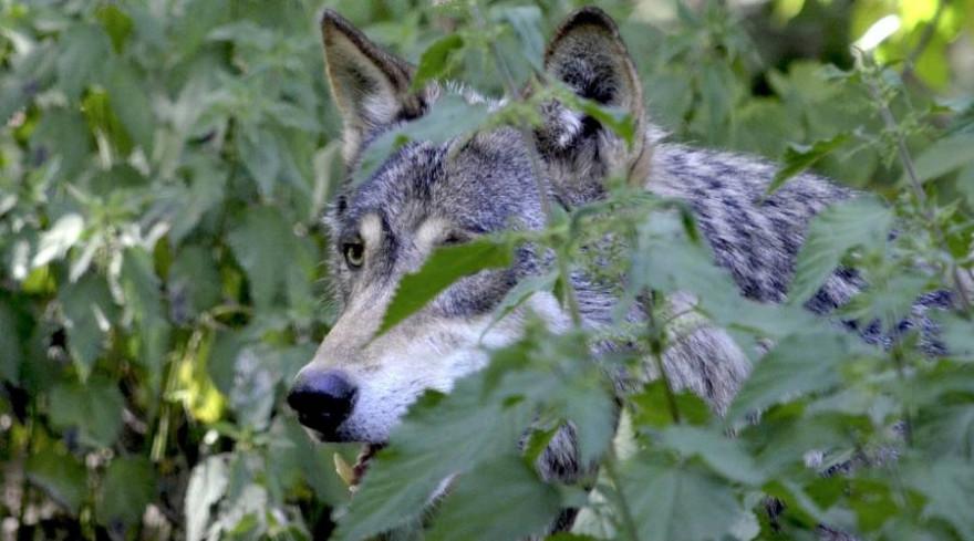 Ein Wolf, teilweise von Grün verdeckt (Beispielbild: Andrea Bohl)