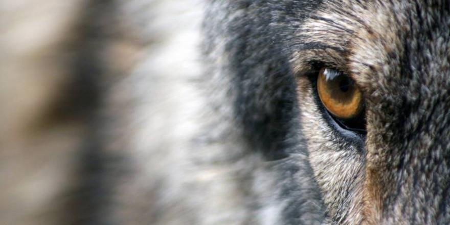 Ein Wolf (Symbolbild: Sandra Petersen)