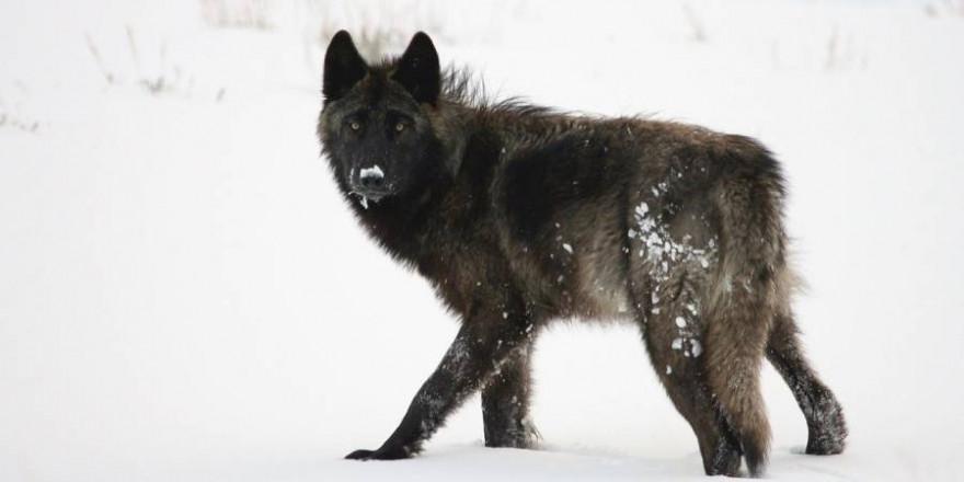 """Die schwarzen Mischlinge gingen aus der Verpaarung der """"Ohrdrufer Wölfin"""" mit ihrem 2017 geborenen Sohn hervor, dessen Vater ein schwarzer Labrador ist (Symbolbild: skeeze)"""
