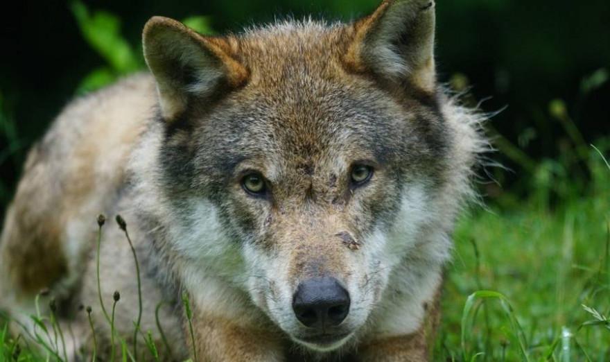Ein Wolf (Symbolbild: Marcel Langthim)