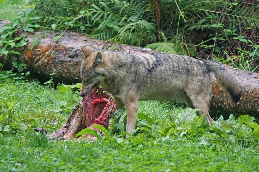 Wolf am Riss