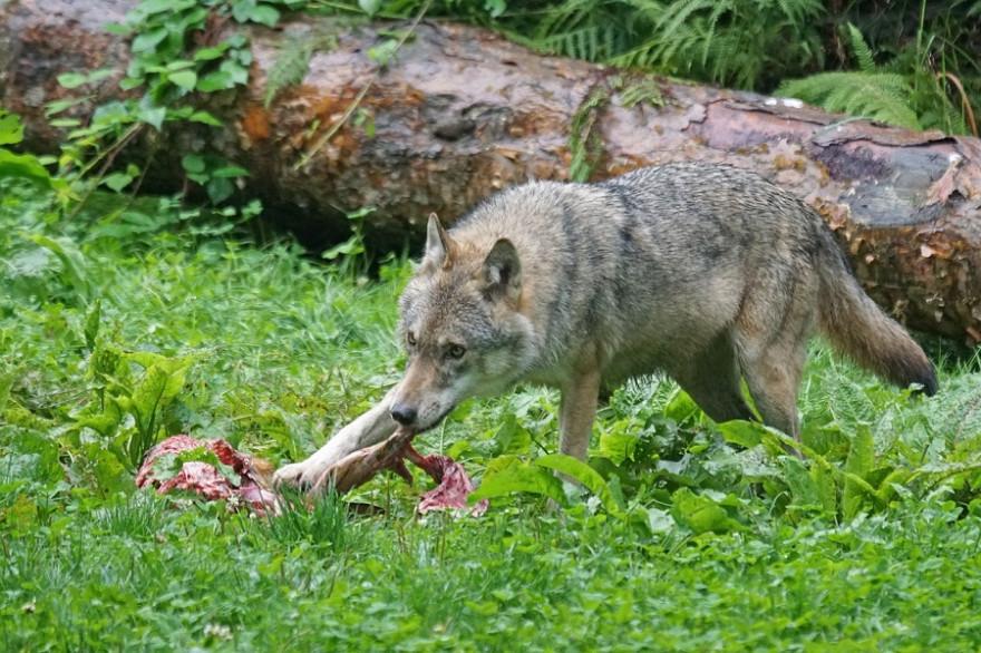 Wolfsriss
