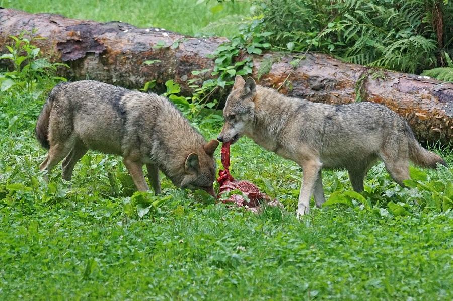Zwei Wölfe am Riss