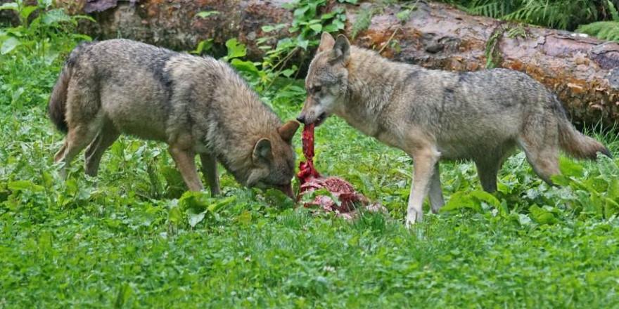 Zwei Wölfe fressen an einem Riss (Symbolbild: Marcel Langthim)