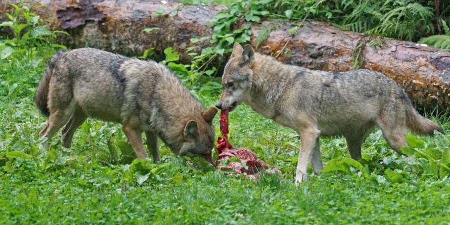 Zwei Wölfe am Riss (Symbolbild: Marcel Langthim)