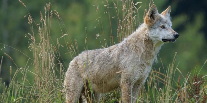 Junger Wolf (Symbolbild: Marcel Langthim)