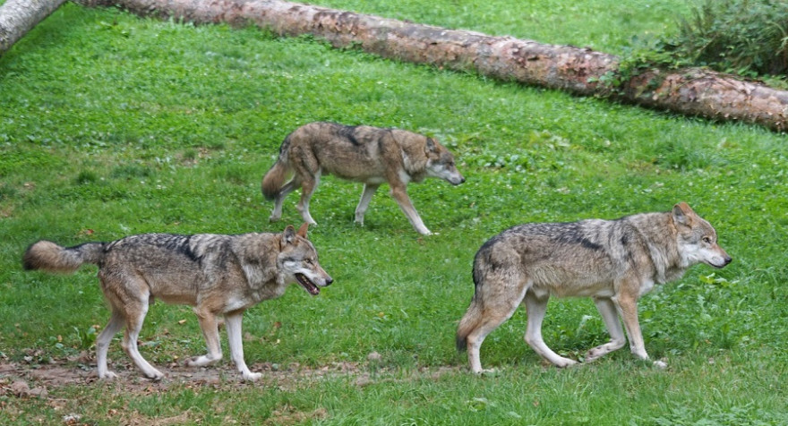 Drei Wölfe